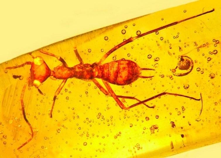 Вянтаре найдено древнее необычное насекомое— Ученые