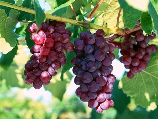 Виноград может предотвратить болезнь Альцгеймера— Ученые