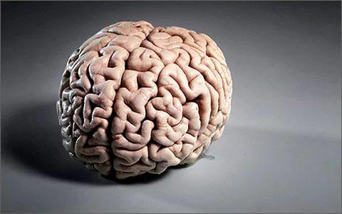 Ученые сообщили, что большой мозг неявляется признаком ума