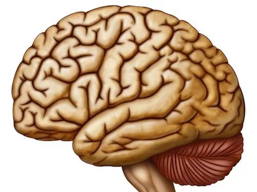 Размер мозга влияет наразвитие памяти— Ученые