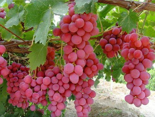 Ученые виноград поможет прочность зубов