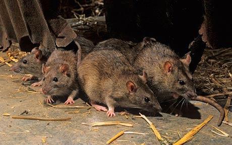 Ученые поведали, как крысы предвещают погоду