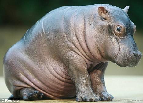 Ученые раскрыли историю вымирания бегемотов вУганде поихклыкам