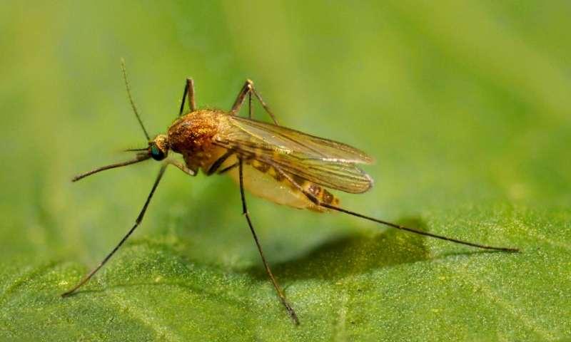 Объяснен десятикратный рост популяции комаров