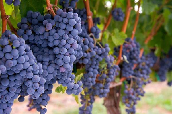 Виноград спасет отрака кожи— Ученые