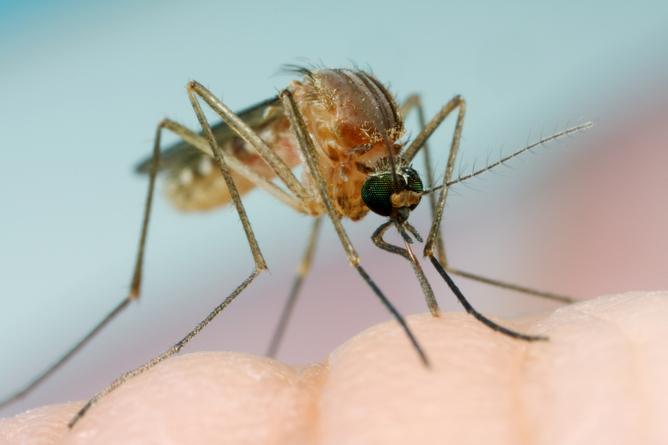 Ученые узнали, где комары посути откладывают яйца
