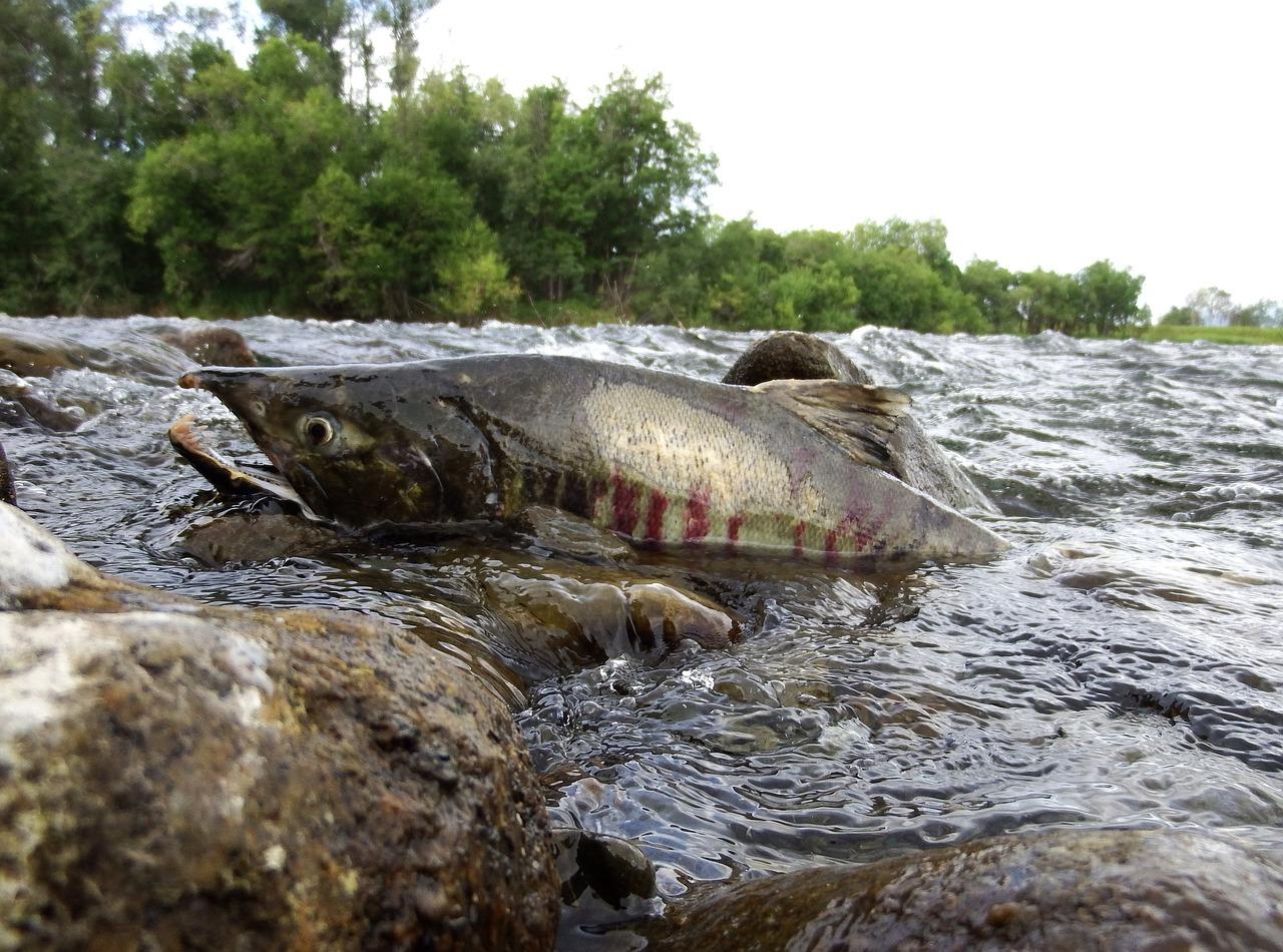 вид рыбы на картинке в реке сити насекомых спасают буйволовые
